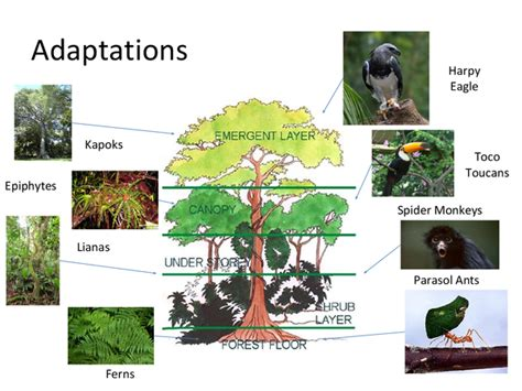 Adaptations to the Tropical Rainforest Presentation in