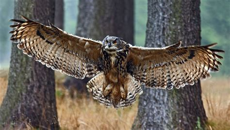 return   eagle owl wild  denmark
