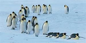 Pingouin Sur La Banquise : tous les pingouins ne sont pas des manchots comment faire la diff rence animogen ~ Melissatoandfro.com Idées de Décoration