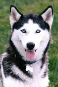 Pictures Of Husky Puppies With Blue Eyes