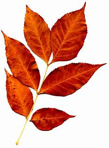 Sprig, Of, Orange, Fall, Leaves, Picture