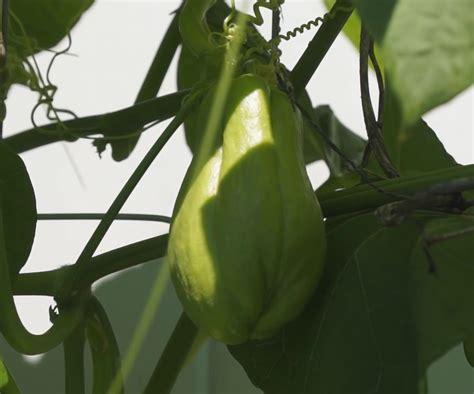 menanam budidaya labu siam  pot polibag pertanian
