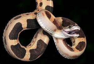 1000+ images about exoticsssss on Pinterest | Pet snake ...