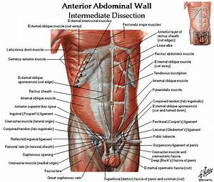 Free Download Abdomen Spleen Liver Anatomy And Physiology