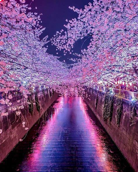 meguro river cherry blossom walk tokyo japan sakura
