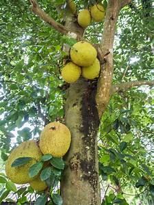 Jackfruit - Southeast AgNET