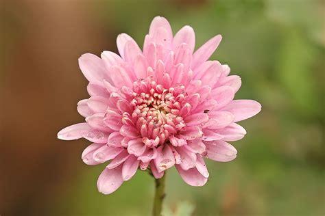 mums in chrysanthemum mums chryanths auntie dogma s garden spot