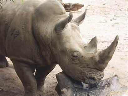 Rhino Animal Domain Resolution Publicdomainpictures