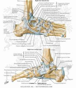 Ligaments Of The Ankle Joint Ligaments And Tendons Of Ankle
