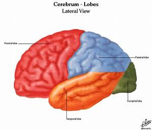 Anatomy And Physiology Of Brain Diagrams