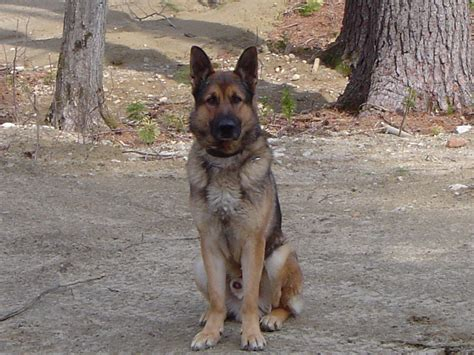 short haired german shepherd facts and pictures