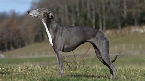 whippet information characteristics facts names