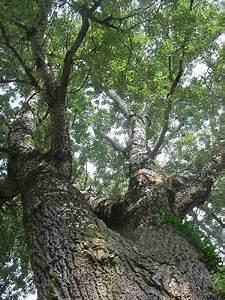 Poplar Tree Images