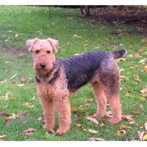 airedale terrier puppies for sale in canada dog breeds