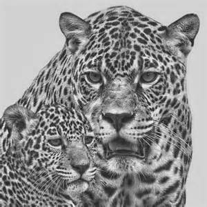 Jaguar Animal Drawings