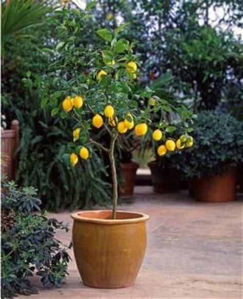 citronnier en pot dans mon jardin