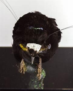 Taxidermy Arfak Six-Wired Bird-of-Paradise
