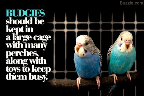 how to take care of your pet budgie bird budgerigar
