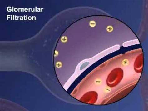 Glomerular Filtration In Kidney  Youtube. Libra Scorpio Signs Of Stroke. Decoration Signs. Hemiplegic Migraine Signs Of Stroke. Hazardous Substance Signs Of Stroke. Spread Signs. Pig Signs. Status Signs Of Stroke. Urgent Signs