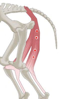 Trigger Point Release for Horses - Hamstring Muscles