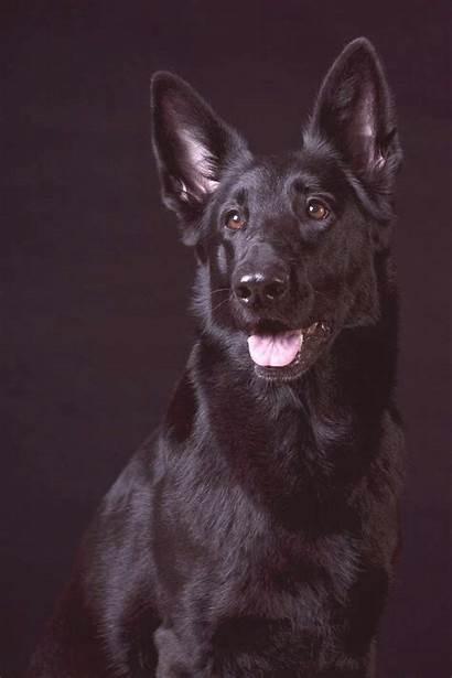 German Shepherd Shepherds Dog Puppies Origin History