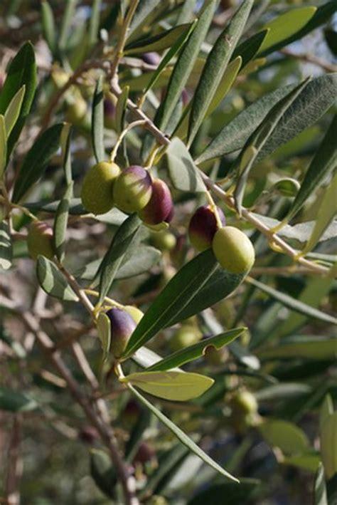 olive tree leaves olive allergy symptoms livestrong 1179