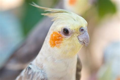 your guide to owning a cockatiel petspot