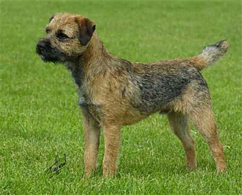 do border terriers shed breeds that dont shed breeds picture