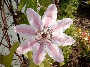 Clematis Viticella Sorten : clematis viticella sorten 10 robuste clematis sorten sch ~ Lizthompson.info Haus und Dekorationen