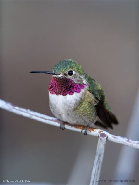 ruby throated hummingbird biology sounds migration autos