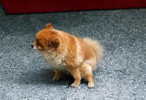 information urinary incontinence in dogs petswithlove us