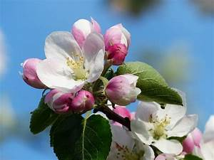 Free Photo  Apple Blossom  Apple Tree  Blossom