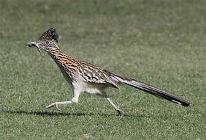 Roadrunner - Bird - Geococcyx Californianus