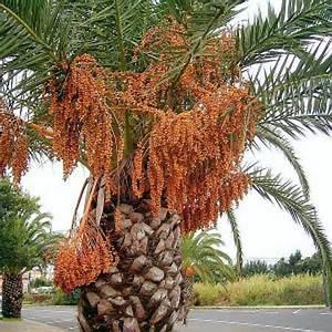 Phoenix Canariensis Entretien : palmier des canaries phoenix canariensis magnifique grand palmier bojardin ~ Melissatoandfro.com Idées de Décoration