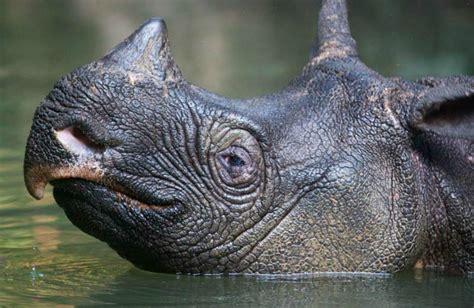 javan rhino international rhino foundation