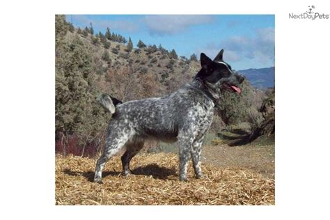 Miniature Blue Heeler Shedding by The Gallery For Gt Australian Shepherd And Lab Mix
