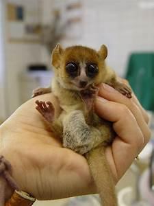 Animal En G : animals of madagascar images a baby mouse lemur hd ~ Melissatoandfro.com Idées de Décoration