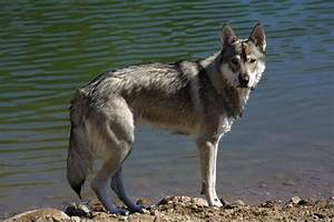 Tamaskan Dog - Wikipedia