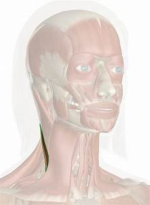 Clavicular Head Of Sternocleidomastoid Muscle