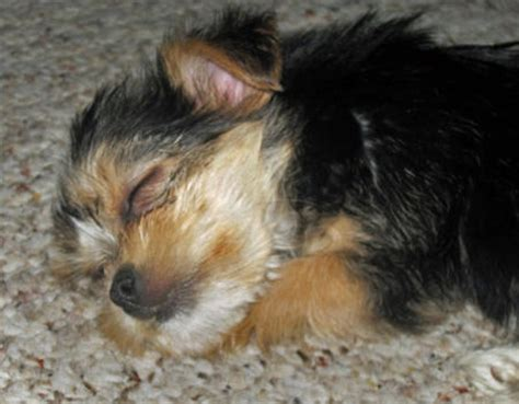 difference  biewer parti yorkshire terriers