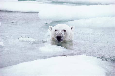 Polar Bear Swimming Photograph By Dan Guravich