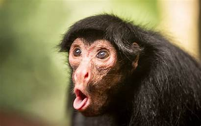 Face Funniest Laugh Monkey Funny Making