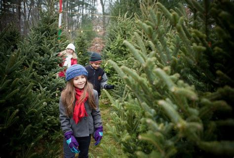 Fraser Christmas Tree Cutting by Where To Cut Your Own Christmas Tree Near Boston Mommy