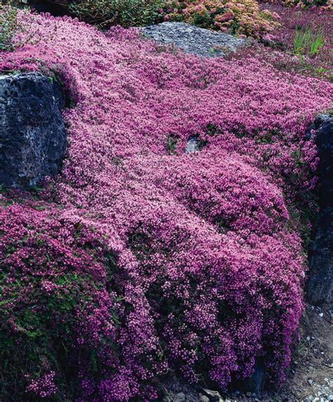 flowering perennial ground cover best 25 ground cover plants ideas on pinterest flowering ground cover perennials ground