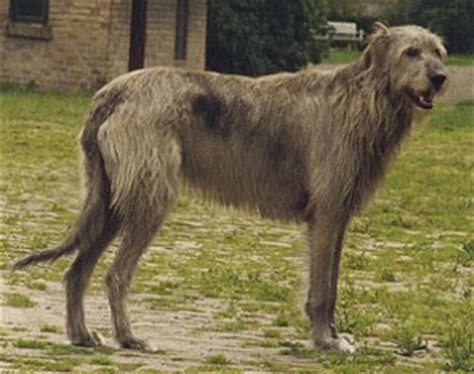exercising  irish wolfhound animal hub