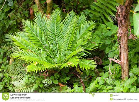 Farn In Einem Tropischen Garten Stockbild