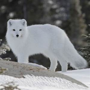 Arctic Fox  U2022 Facts  U2022 Tundra Animals