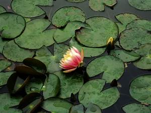 Water Lily Pads Free Stock Photo - Public Domain Pictures