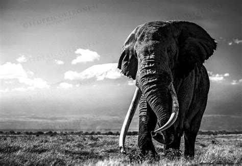 Elephant Wallpaper Black And White Wallpapers Gallery