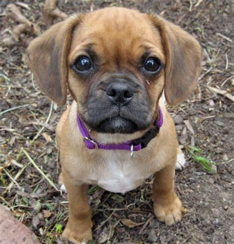 peculiar  absolutely gorgeous pug mixes
